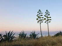 Sprouting Agave Plants Royalty Free Stock Images