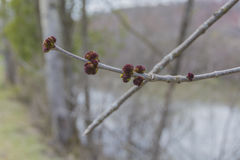 Sprouting Ash Tree Buds Royalty Free Stock Photography