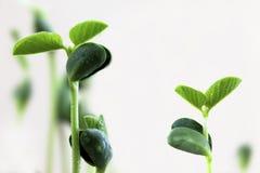 Sprouting bean Stock Photos
