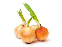 Sprouting Bulb Onions Royalty Free Stock Image