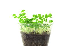 Sprouting chia seeds plant Stock Photos
