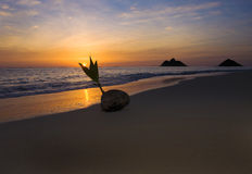 Sprouting coconut at sunrise Royalty Free Stock Photos