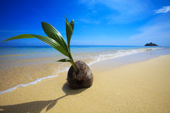 Sprouting coconut washes up on the shore Stock Photos
