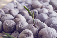 Sprouting coconut Royalty Free Stock Images