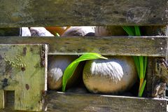 Sprouting coconuts. Stored (and forgotten) coconuts inside a wooden crate, some of them sprouted Stock Photo