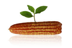 Sprouting corn. Royalty Free Stock Images