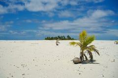 Sprouting das palmas de coco. imagens de stock