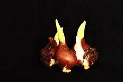 Sprouting dos bulbos da tulipa Fotos de Stock Royalty Free