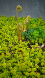 Sprouting Fern Among Creeping Jenny Plant Stock Images