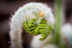 Sprouting Fern Stock Photography