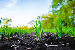 Sprouting field of maize, corn stock photos