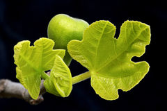Sprouting fig leaves and fig Royalty Free Stock Photography