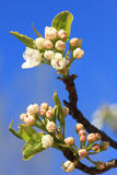 Sprouting fruit tree twig and blue sky Royalty Free Stock Photo