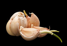 Sprouting garlic on black Royalty Free Stock Photo