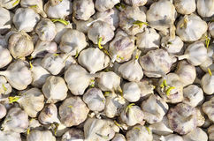 Sprouting garlic Royalty Free Stock Images
