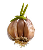 Sprouting garlic clove Royalty Free Stock Images