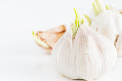 Sprouting garlic cloves Stock Photo
