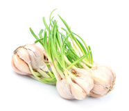 Sprouting garlic Stock Images