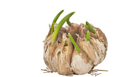 Sprouting garlic isolated Royalty Free Stock Photos