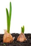 Sprouting garlic in soil Royalty Free Stock Image