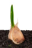 Sprouting garlic in soil Royalty Free Stock Images