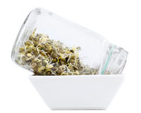 Sprouting green lentils in jar Stock Photography