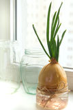 Sprouting onions Royalty Free Stock Photos