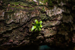 A Sprouting Green Plant. A green plant sprouting on a tree trunk illuminated by a shaft of light royalty free stock photo