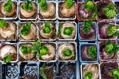 Sprouting hyacinth bulbs on display Stock Image