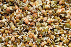 Sprouting Lentils Mix Stock Photography