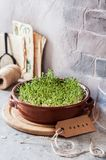 Sprouting Micro Greens. Growing Micro Greens, Sprouting Cress Salad Seeds, copy space for your text stock photography