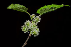 Sprouting Mulberries Isolated On Black Stock Images