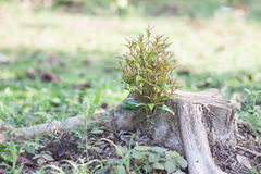 Sprouting new life on a chopped tree trunk. Stock Images