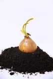 Sprouting onion. Ground vegetables (onion royalty free stock photography
