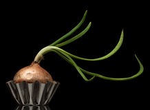 Sprouting onion Stock Photography