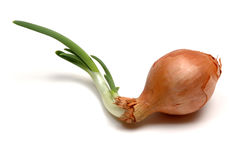 Sprouting onion royalty free stock images