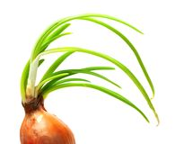 Sprouting onion (Allium cepa) Stock Photography
