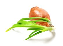 Sprouting onion (Allium cepa) on white background Stock Photos