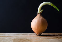 Sprouting Onion with Black Background Stock Images