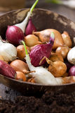 Sprouting onion bulbs Stock Photos