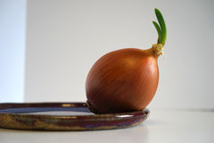 Sprouting onion on ceramic plate. Organic onion sprouting in the sunlight on ceramic plate Royalty Free Stock Photos