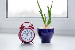 Sprouting onion in a glass and clock. On the windowsill stock photo
