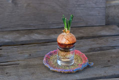 Sprouting onion in a glass Stock Photography