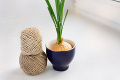 Sprouting onion in a glass and two skeins of thread. On the windowsill royalty free stock image