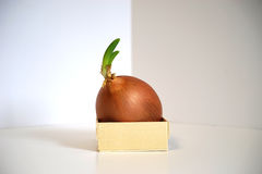 Sprouting onion limited by small box container Royalty Free Stock Image