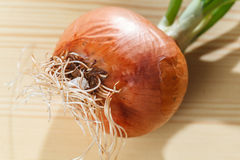 Sprouting onion table Stock Image