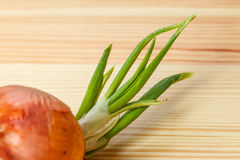 Sprouting onion table Stock Photography