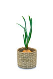 Sprouting onions in a basket Royalty Free Stock Image