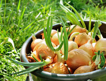 Sprouting onions in a bucket Stock Photo