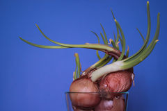 Sprouting Onions in a Glass Bowl Stock Photos